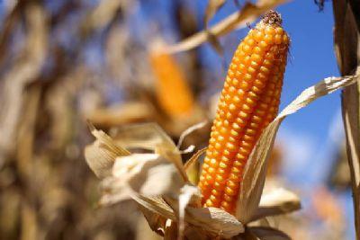 Preço do milho continua subindo em Mato Grosso