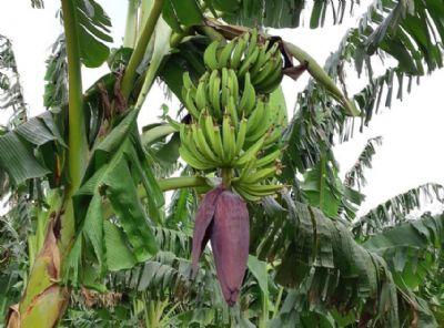 Empaer realiza visita técnica sobre o cultivo da banana da terra em Cáceres