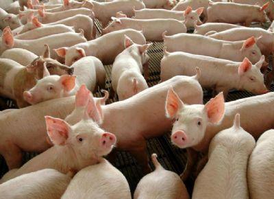 Produção de suínos vivos na China mostra retomada e oferta melhora em outubro