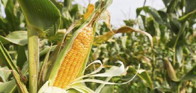 Dólar tem valorização e vendas de milho em Mato Grosso aumentam de forma atípica
