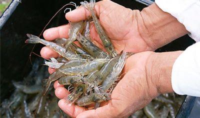 Produção de camarão de água doce é tema de curso em Lucas do Rio Verde
