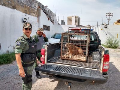 Capivara é resgatada no centro de Cuiabá