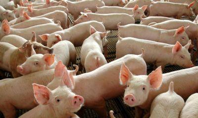 Peste suína/Ásia: FAO eleva para 7,937 milhões número de animais eliminados