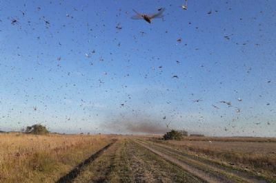 Ministério da Agricultura monitora gafanhotos que invadiu Argentina e se aproxima do Brasil; Veja vídeo