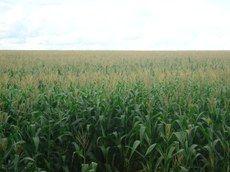 Conab estima colheita recorde de 238,9 milhões de toneladas de grãos