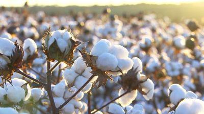 Ampa prevê manutenção na área de algodão