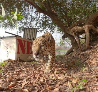 Onça-pintada ferida pelo fogo é reintroduzida na natureza no Pantanal