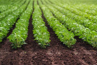 Inoculação reduz custos com fertilizantes na soja
