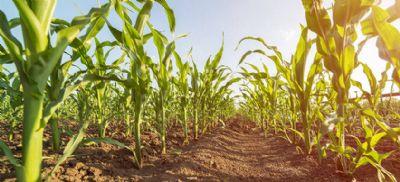 Milho: área plantada no verão deve crescer de 2% a 4%